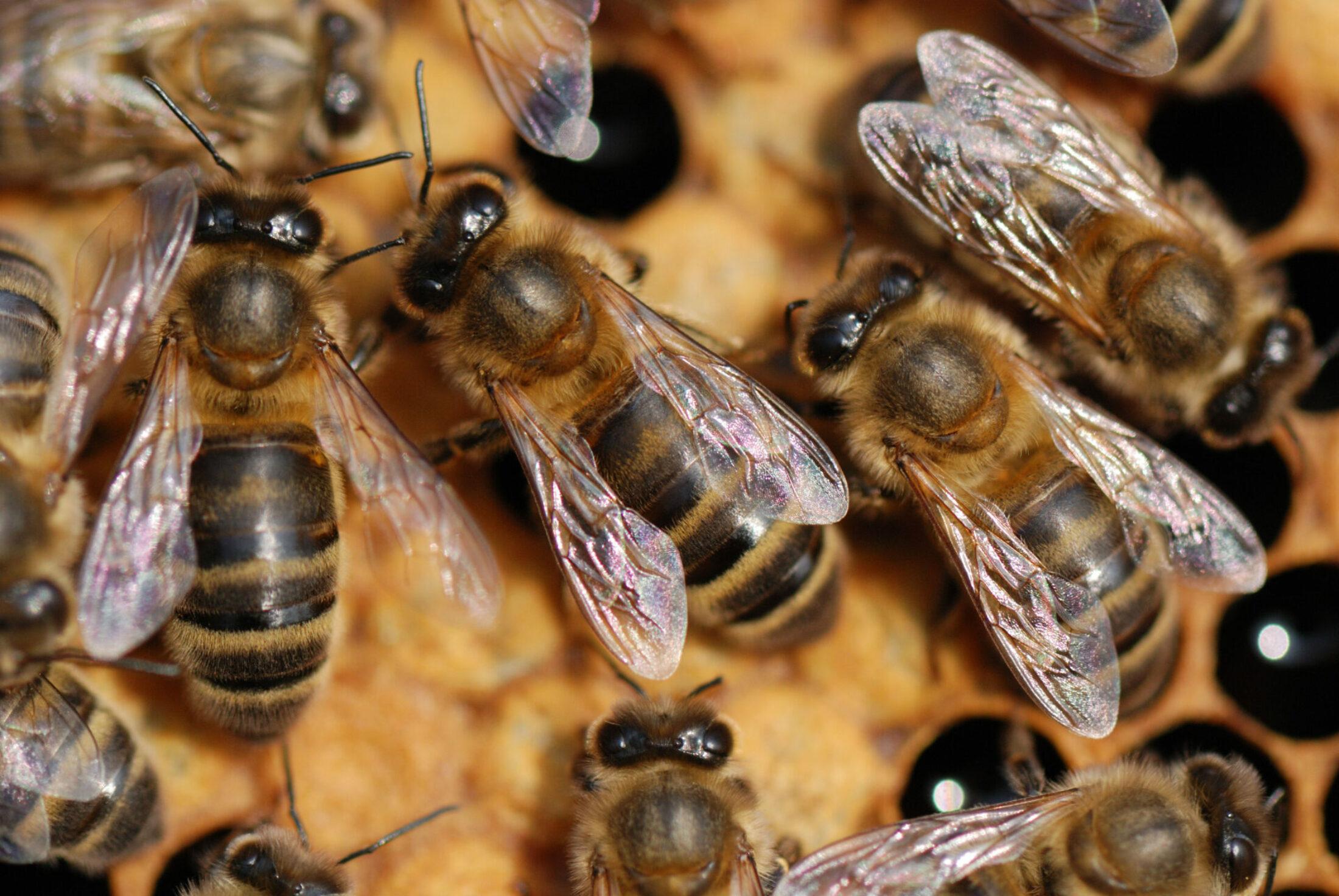 À la découverte de l'abeille indigène à Virelles
